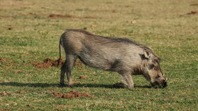 żywieniowy warthog Fotografia Royalty Free