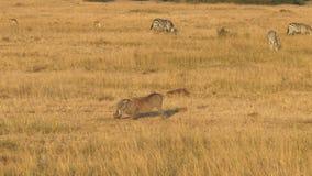 Żywieniowy warthog w masai Mara parku narodowym, Kenya zbiory