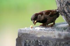 Żywieniowy wróbel Jaskrawy wróbel dzióbać chlebowe kruszki zdjęcie stock