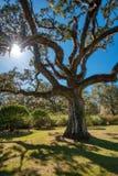 Żywy dąb z Hiszpańskim mech i wskrzeszanie paprocie leje się z światłem słonecznym, obraz royalty free