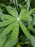 Żywy lupine liść z podeszczowymi kroplami, ranek rosa fotografia stock