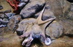 żywy ośmiornica Zdjęcie Stock