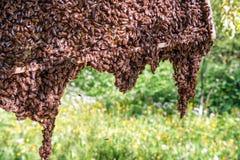 Żywy pszczoły mrowie obrazy royalty free