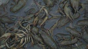 Żywy rakowy złapany w rzece nalewa w obmycie basen przed gotować zdjęcie wideo