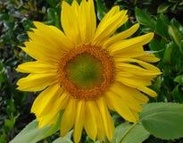Żywy słonecznikowy mandala Obrazy Stock