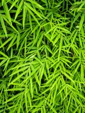 Żywy zielony kolor bambusowy liść obraz stock