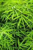 Żywy zielony kolor bambusowy liść zdjęcia stock