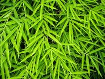 Żywy zielony kolor bambusowy liść fotografia royalty free