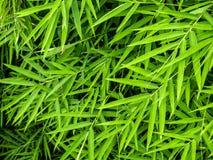 Żywy zielony kolor bambusowy liść fotografia stock