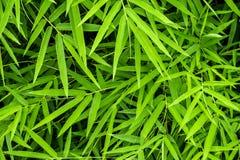 Żywy zielony kolor bambusowy liść zdjęcie royalty free