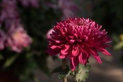 ˆRamat ¼ morifoliumï ˆDendranthema ¼ Chrysanthemumï ‰ ¼ ï стоковое фото