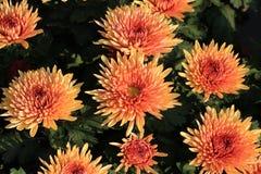 ˆRamat ¼ morifoliumï ˆDendranthema ¼ Chrysanthemumï ‰ ¼ ï стоковые изображения