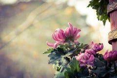 ˆRamat ¼ morifoliumï ˆDendranthema ¼ Chrysanthemumï ‰ ¼ ï стоковые фотографии rf