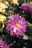 ˆRamat ¼ morifoliumï ˆDendranthema ¼ Chrysanthemumï ‰ Tzvel ¼ ï ‰ ¼ ï стоковое фото