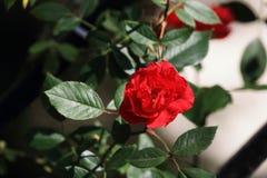 ˆRosa chinês Jacq chinensis do ¼ do roseï ‰ do ¼ do ï Fotos de Stock Royalty Free