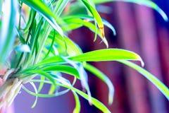ˆThunb del ¼ del comosumï di Chlorophytum panettiere del ‰ del ¼ del ï fotografia stock