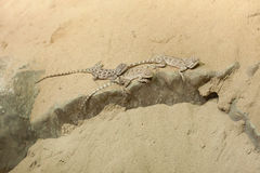 Άγαμα στεπών (sanguinolentus Trapelus) Στοκ εικόνες με δικαίωμα ελεύθερης χρήσης