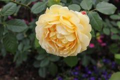 Άγιος-ΠΕΤΡΟΥΠΟΛΗ, ΡΩΣΙΑ - 10 Ιουλίου 2014: Όμορφα τριαντάφυλλα στο πάρκο της Catherine σε Tsarskoe Selo Στοκ Εικόνα