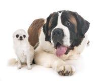 Άγιος bernard και chihuahua στοκ εικόνες