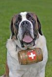 Άγιος Bernhard Dog Στοκ φωτογραφίες με δικαίωμα ελεύθερης χρήσης