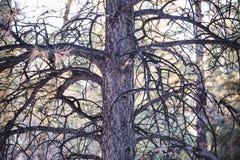 Άγονο δέντρο πεύκων στο δάσος Στοκ Φωτογραφίες