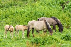 Άγρια άλογα και foals που βόσκουν στην αγριότητα Στοκ Εικόνες