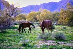 Άγρια άλογα που βρίσκονται στο ινδικό έδαφος επιφύλαξης pima-Maricopa από το στοκ φωτογραφίες