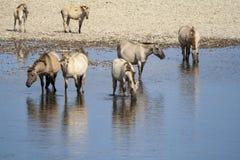 Άγρια άλογα που στέκονται στον ποταμό Στοκ εικόνα με δικαίωμα ελεύθερης χρήσης