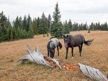 Άγρια άλογα στη Μοντάνα ΗΠΑ - μπλε roan φοράδα και μαύρος επιβήτορας δίπλα στη νεκρή να σαπίσει σύνδεση η άγρια σειρά αλόγων βουν Στοκ φωτογραφίες με δικαίωμα ελεύθερης χρήσης