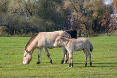 Άγρια άλογα στον ουγγρικό βαλτότοπο Στοκ Φωτογραφίες