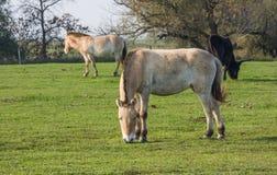 Άγρια άλογα στον ουγγρικό βαλτότοπο Στοκ Εικόνα