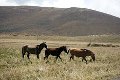Άγρια άλογα στο paramo στην οικολογική επιφύλαξη Antisana, Ecaudor Στοκ εικόνες με δικαίωμα ελεύθερης χρήσης