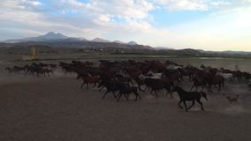 Άγρια άλογα Yilki και ένας ιππέας στην επαρχία σε Kayseri, Τουρκία φιλμ μικρού μήκους