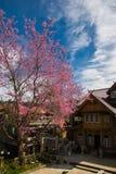 Άγρια άνθη κερασιών Himalayan σε Banrongkha Στοκ εικόνες με δικαίωμα ελεύθερης χρήσης
