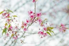 Άγρια άνθη κερασιών Himalayan σε Phu Lom Lo Ταϊλάνδη Στοκ Εικόνα