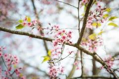 Άγρια άνθη κερασιών Himalayan σε Phu Lom Lo Ταϊλάνδη Στοκ Εικόνες
