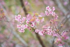 Άγρια άνθη κερασιών Himalayan σε Phu Lom Lo Ταϊλάνδη Στοκ εικόνα με δικαίωμα ελεύθερης χρήσης