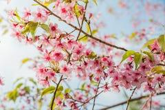 Άγρια άνθη κερασιών Himalayan σε Phu Lom Lo Ταϊλάνδη Στοκ εικόνες με δικαίωμα ελεύθερης χρήσης