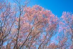 Άγρια άνθη κερασιών Himalayan στην Ταϊλάνδη Στοκ Εικόνα