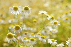 Άγρια άνθη chamomille αναδρομικά φωτισμένα από τον ήλιο Στοκ Εικόνα