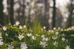 Άγρια άσπρα λουλούδια που ανθίζουν στο δάσος Στοκ Εικόνες