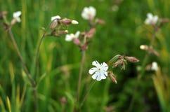 Άγρια άσπρα λουλούδια με το θολωμένο υπόβαθρο Στοκ Εικόνα