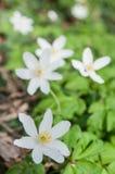 άγρια άσπρα anemones στο δάσος Στοκ φωτογραφίες με δικαίωμα ελεύθερης χρήσης