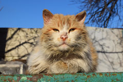 Άγρια άστεγη γάτα οδών Στοκ Εικόνες