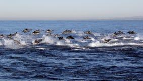 Άγρια άτακτη φυγή δελφινιών Στοκ εικόνα με δικαίωμα ελεύθερης χρήσης