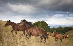 Άγρια άλογα καλπασμού Στοκ Εικόνες