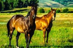 Άγρια άλογα που εξετάζουν τη κάμερα στη βουνοπλαγιά στοκ εικόνα με δικαίωμα ελεύθερης χρήσης
