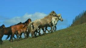 Άγρια άλογα που τρέχουν στους λόφους βουνών απόθεμα βίντεο