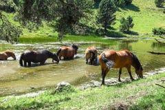Άγρια άλογα στην κοιλάδα Aran στα καταλανικά Πυρηναία, Ισπανία στοκ εικόνες με δικαίωμα ελεύθερης χρήσης