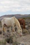 Άγρια άλογα στη Νεβάδα στοκ εικόνες